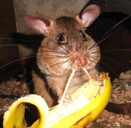 rats-in-africa-are-saving-lives-in-the-most-badass-way-possible-10-photos-10