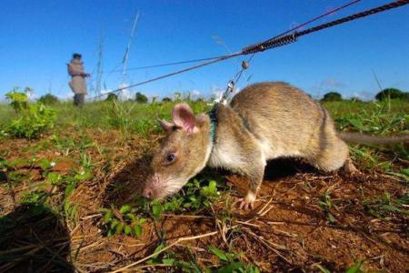 rats-in-africa-are-saving-lives-in-the-most-badass-way-possible-10-photos-2