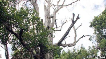 Afo the clove tree